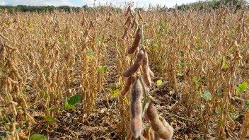 La soja se desplomó más de US$ 40 en un día y perforó los US$ 500 por tonelada