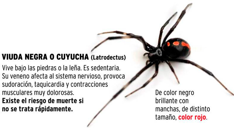 tratamiento de picadura de araña viuda negra