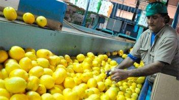 Por un hongo de la fruta, la exportación de limones quedó frenada