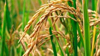 El arroz lleva casi un año sin crecimiento en la provincia