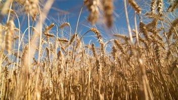 La Mesa de Enlace de Entre Ríos negó desabastecimiento de trigo y maíz