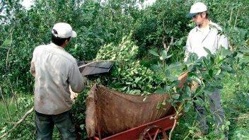 Aprobaron nuevo mecanismo de distribución de plantaciones de yerba mate