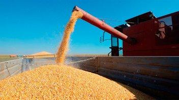 La producción de maíz en Entre Ríos cayó 562.620 toneladas