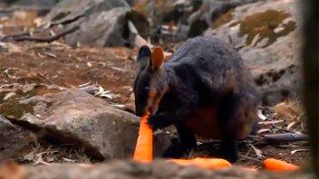 Incendios en Australia: Tiraron toneladas de alimento para los animales