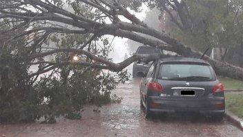 Fotos: Un árbol cayó sobre un auto estacionado y le ocasionó daños