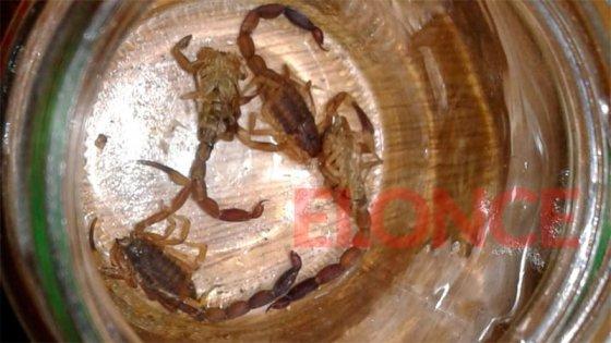 Malbrán pide alacranes vivos para elaborar suero: Paraná recibe ejemplares