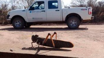 El Senasa lanza alerta por la aparición de langostas en al menos seis provincias