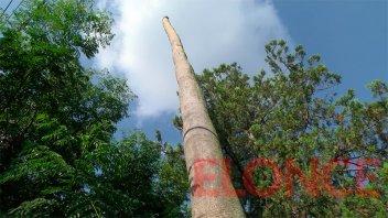En barrio San Roque piden que corten palmera de 30 metros que se puede caer
