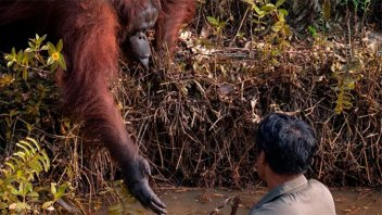 Un orangután intentó rescatar a un hombre de un pozo