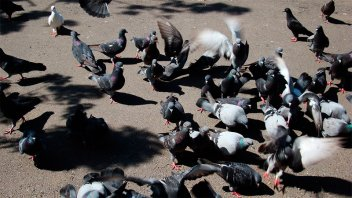 Proponen cazar las palomas que invaden la ciudad y causan problemas en el centro