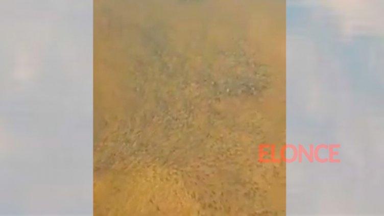 Video: Bajante del río Uruguay deja ver miles de peces en aguas poco profundas