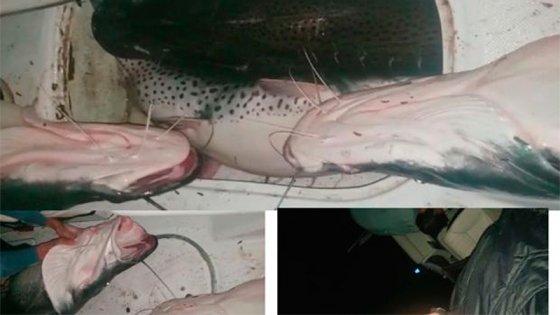 Video muestra cómo pescan enormes surubíes en el Paraná a pesar de la cuarentena