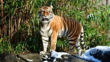 Una tigresa del zoológico de Nueva York contrajo coronavirus