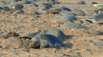 Miles de tortugas anidaron en playas vacías por la cuarentena en la India