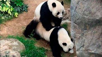 Covid 19 les dio intimidad: Osos panda se aparearon por primera vez en 10 años