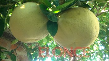 Una mujer cosechó pomelos gigantes, por segundo año consecutivo en Paraná