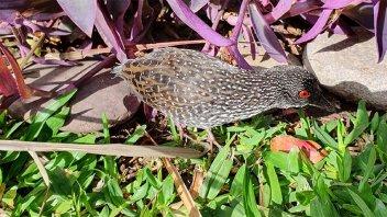 Apareció otra ave silvestre en una vivienda de Paraná