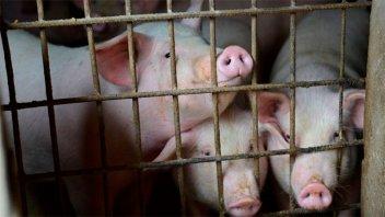 Producción porcina: detectaron seis casos de triquinosis en Córdoba