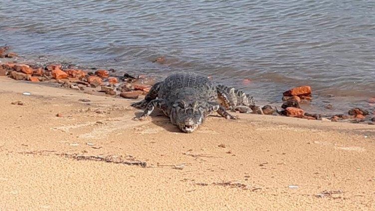 Un enorme yacaré apareció en una playa en la costa del río Paraná