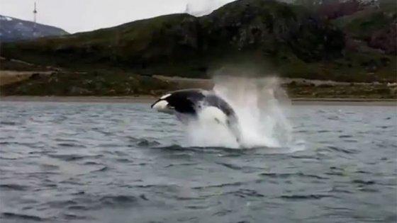El espectacular show de un grupo de orcas en Ushuaia