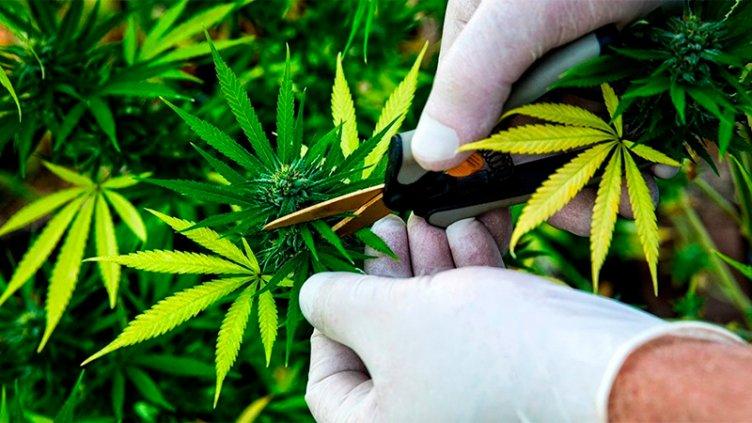 Diputados aprobó regulación del autocultivo de cannabis con fines terapéuticos