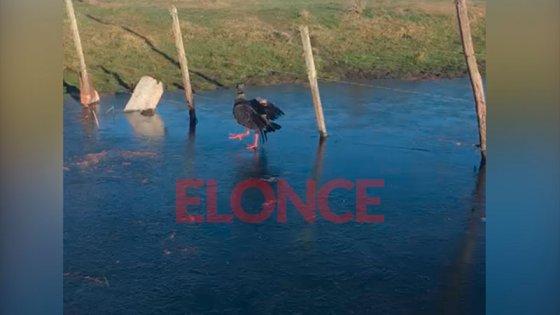 Video: Registraron el paseo de un chajá sobre una laguna congelada