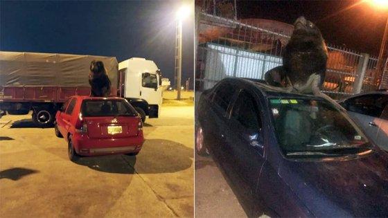 Fotos y videos: Lobos marinos coparon las calles y se subieron a los autos