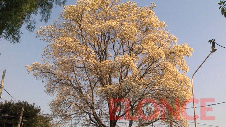 Se anticipó a la primavera: Las postales del lapacho blanco florecido