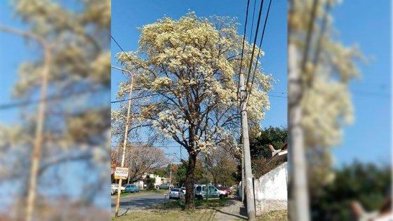 Comenzó a florecer el lapacho blanco con las temperaturas más cálidas