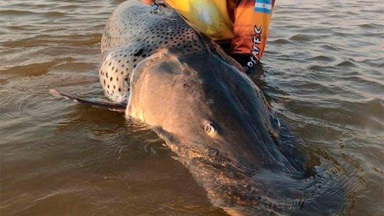 Pescaron un enorme surubí de 70 kilos, lo marcaron y devolvieron al río Paraná