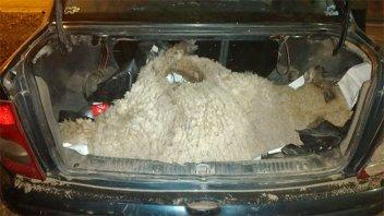 Una oveja que era trasladada en el baúl terminó en la comisaría