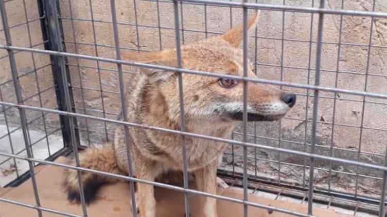 Hallaron un zorro gris en vivienda de Paraná durante el temporal: Fotos y videos