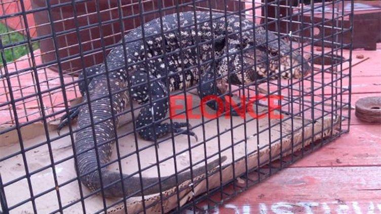 Apareció una iguana en oficina del Correo en Paraná: Estaba entre los sobres
