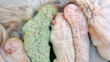Nació un cachorro verde en Italia y lo bautizaron