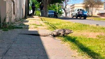 Hallaron un lagarto suelto sobre transitada avenida y dieron aviso a la Policía