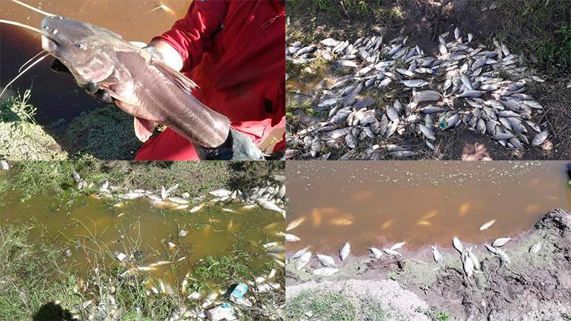 Imágenes: Preocupa la mortandad de peces en un arroyo entrerriano