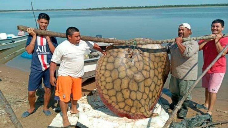 Pescaron una gigante raya de 150 kilos en el río Paraná