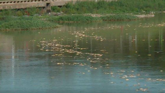 Videos: impresionante mortandad de peces en el río Salado sorprendió en Santa Fe