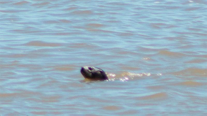"Fotografiaron a un ""lobito de río"" en la costanera de Santa Elena."