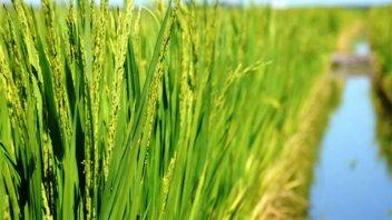 El 94% de la superficie sembrada con arroz registra óptimas condiciones