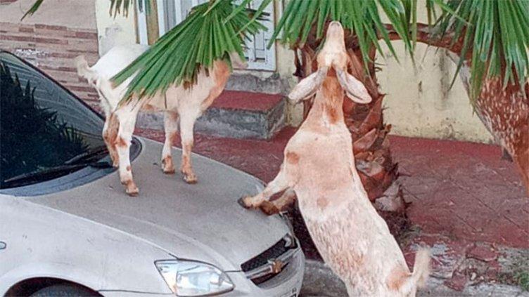 """Cabras en la ciudad: denuncian que """"suben a los autos y se comen las plantas"""""""