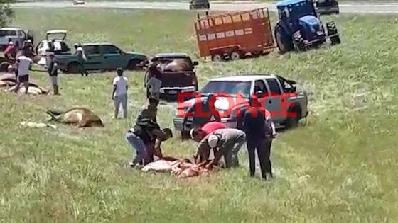 Video: volcó un camión jaula y los vecinos carnearon a los animales