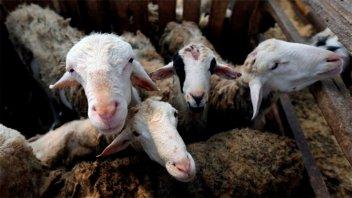 Holanda: Apareció nueva enfermedad y sería transmitida por cabras
