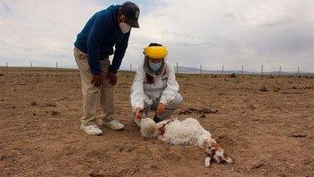 ¿Apareció el chupacabras?: hallaron más de 50 de animales muertos en Chile