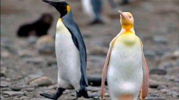 Rareza: logran fotografiar a un pingüino amarillo nunca antes visto
