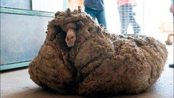 Rescataron a una oveja abandonada que tenía 35 kilos de lana