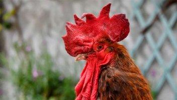 Insólito: multaron a un hombre con 40 mil pesos por el canto de su gallo