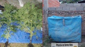 Allanaron por un robo y hallaron un invernadero con plantas de marihuana