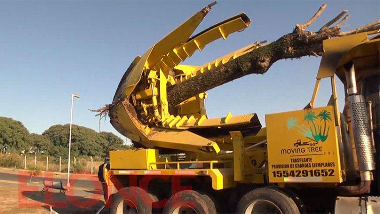 Traslado de árboles en calle Racedo: cuesta $100.000 replantar cada ejemplar