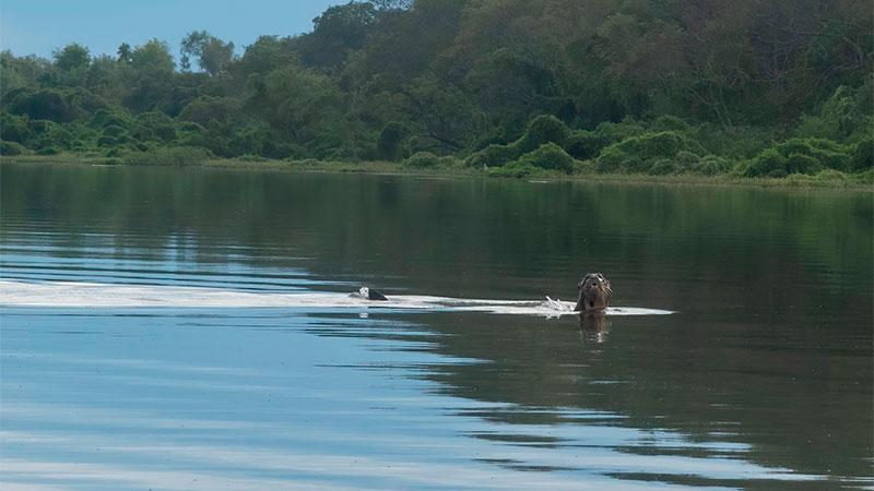 El ejemplar de nutria gigante avistado en el Río Bermejo.